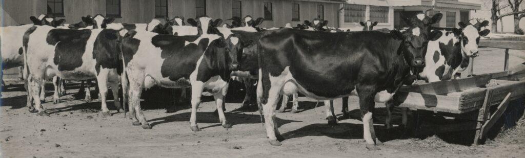 Cows and barn century farm