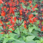 Salvia Lady In Red-GPM Landscape