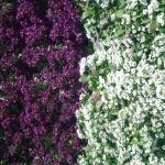 Alyssum - GPM Landscape