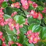 Begonia - GPM Landscape
