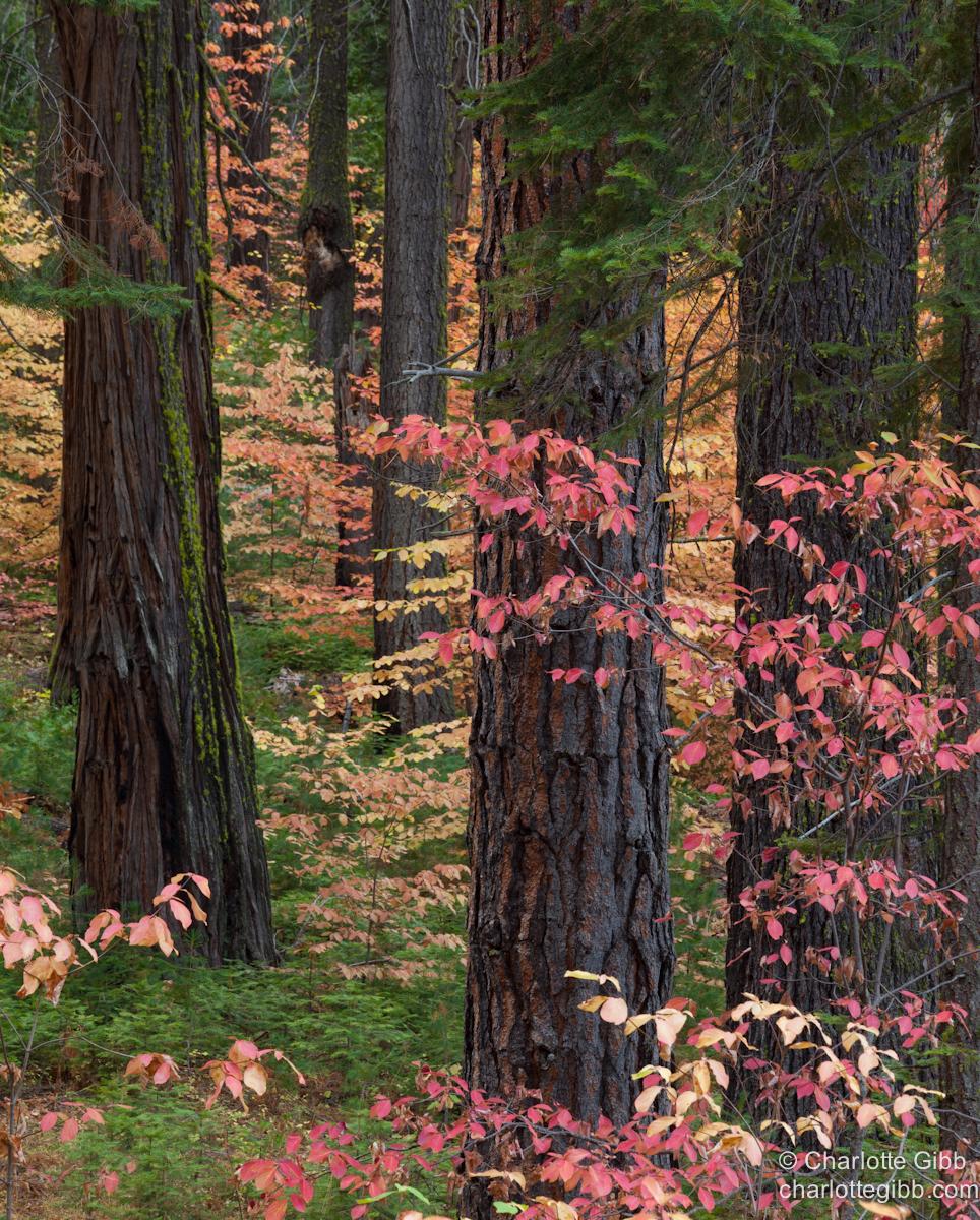 Dogwoods copy