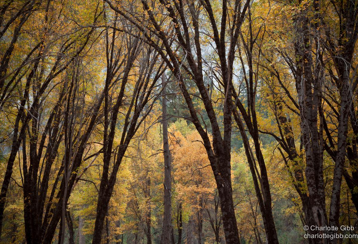 Oaks in Yosemite's El Capitan Meadow copy