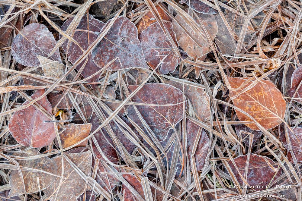 Frozen Aspen Leaves and Grass, Winter 2014