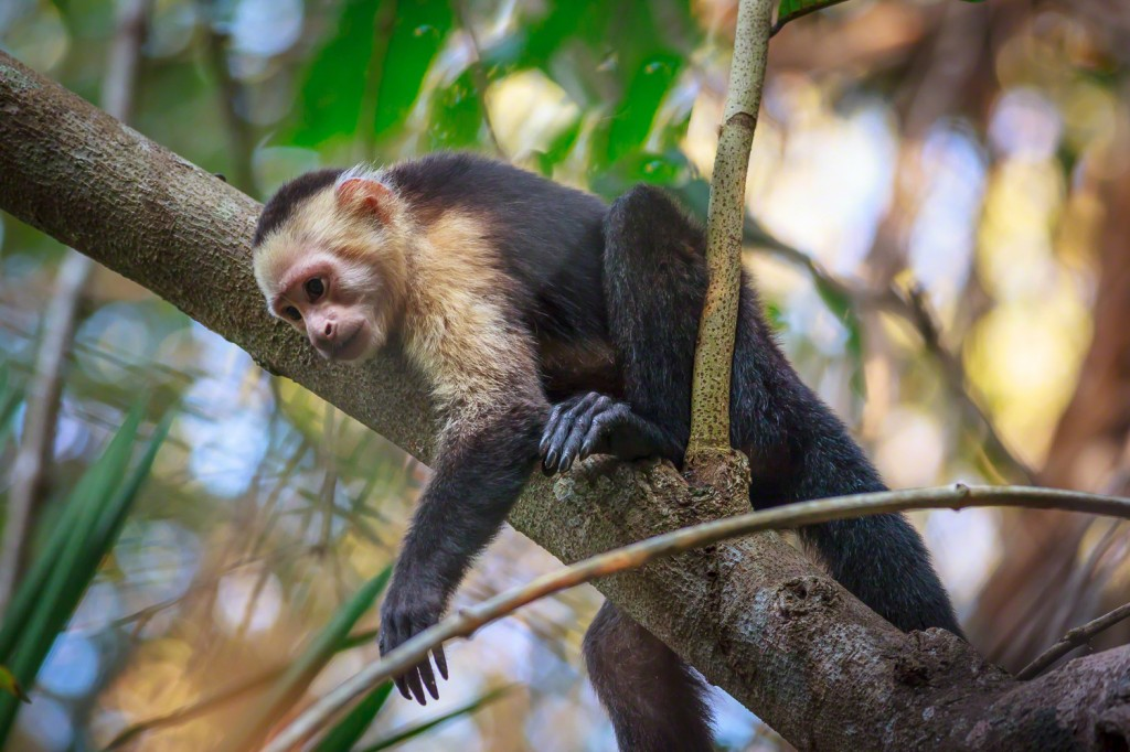 white faced capuchin in tree 2014