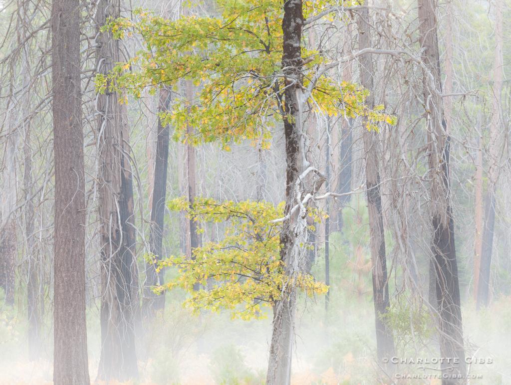 Lone Oak in Fire Zone, 2014