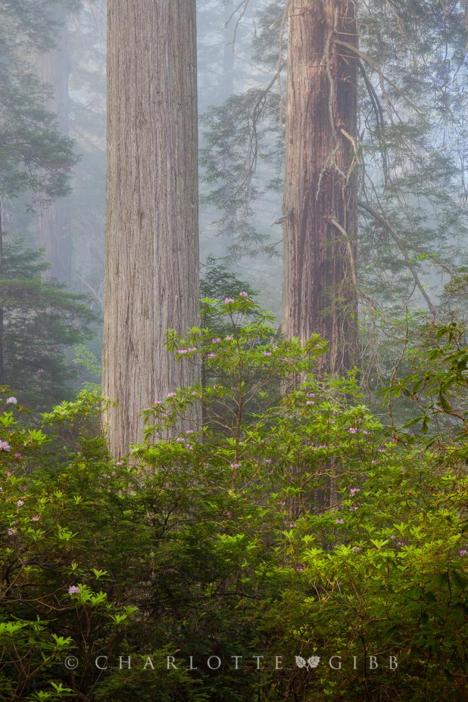 Twins, Redwood National Park, June 2014