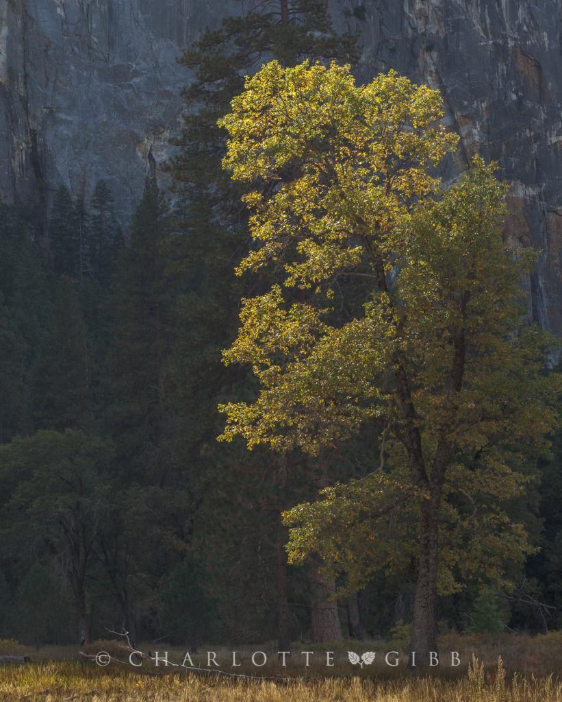 Leaning Tree, Yosemite Valley, October 2014