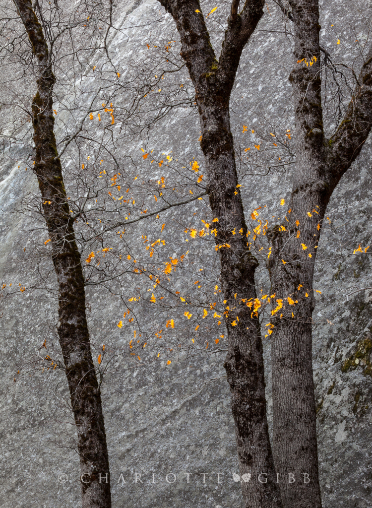 Black Oaks and Granite, January 11, 2014