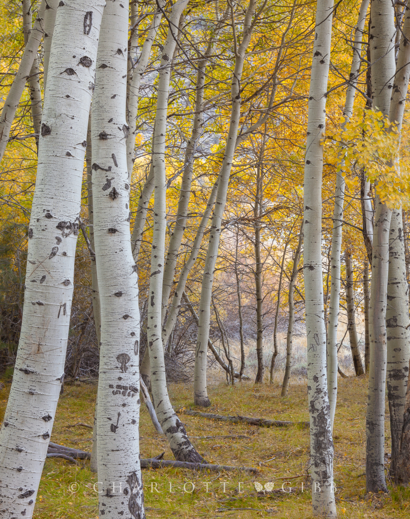 Within the Aspen Grove, October, 2014