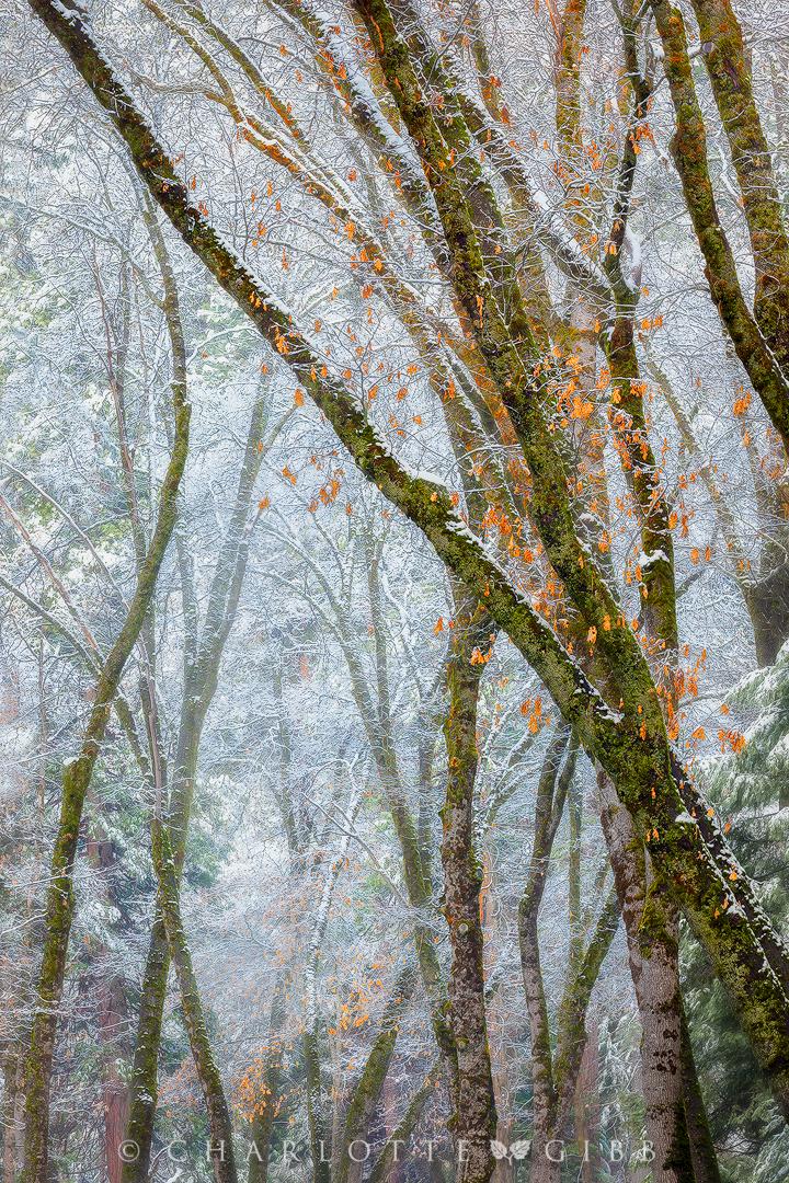 """Black Oaks and Snowy Mist"", April 8, 2015, Yosemite National Park"
