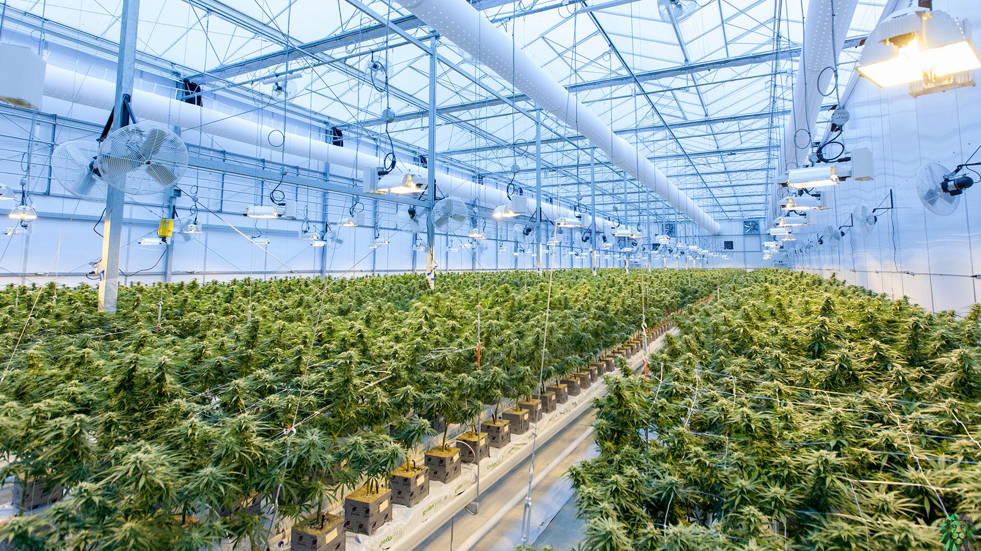 cannabis-grow-operation