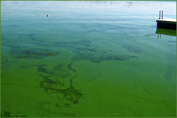 Picture of Harmful Algal Bloom