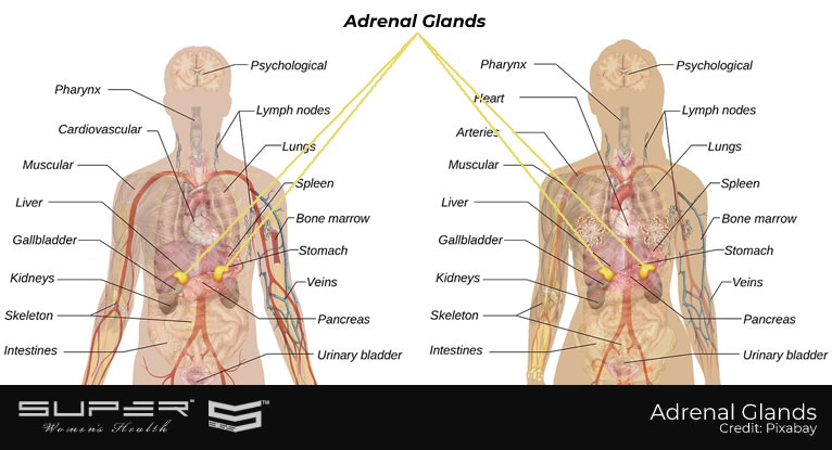 what-are-adrenal-glands