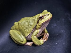 Green frog with white belly