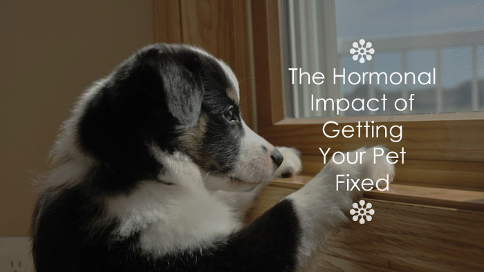The Hormonal Impact Of Getting Your Pet Fixed