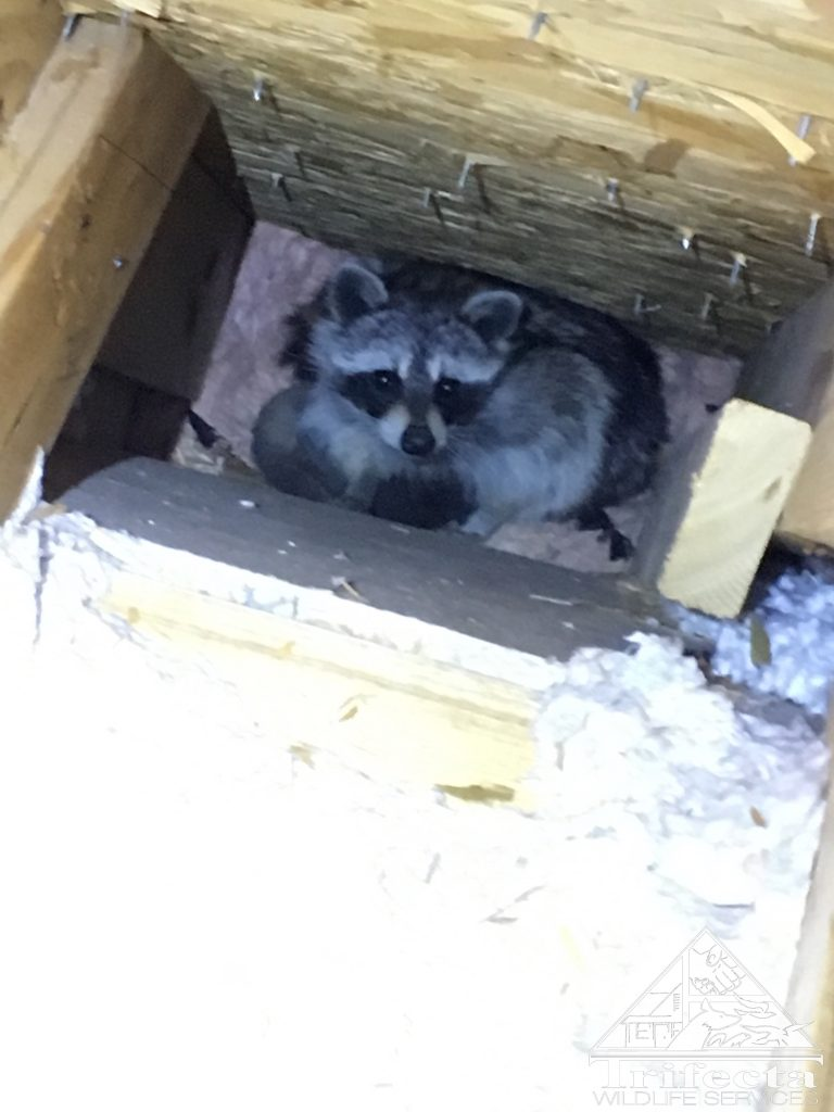 A maternal raccoon in the wall of a Lexington KY home
