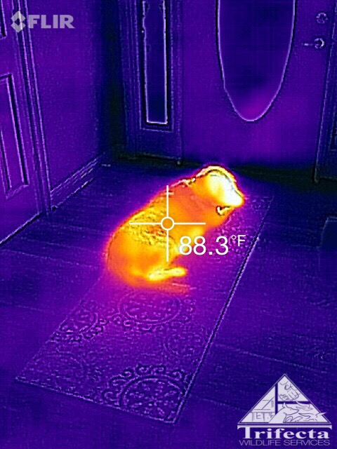An example of thermal imaging looking at a dog