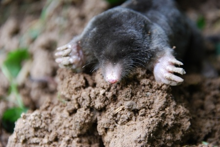 Mole trapping in Lexington and Central KY