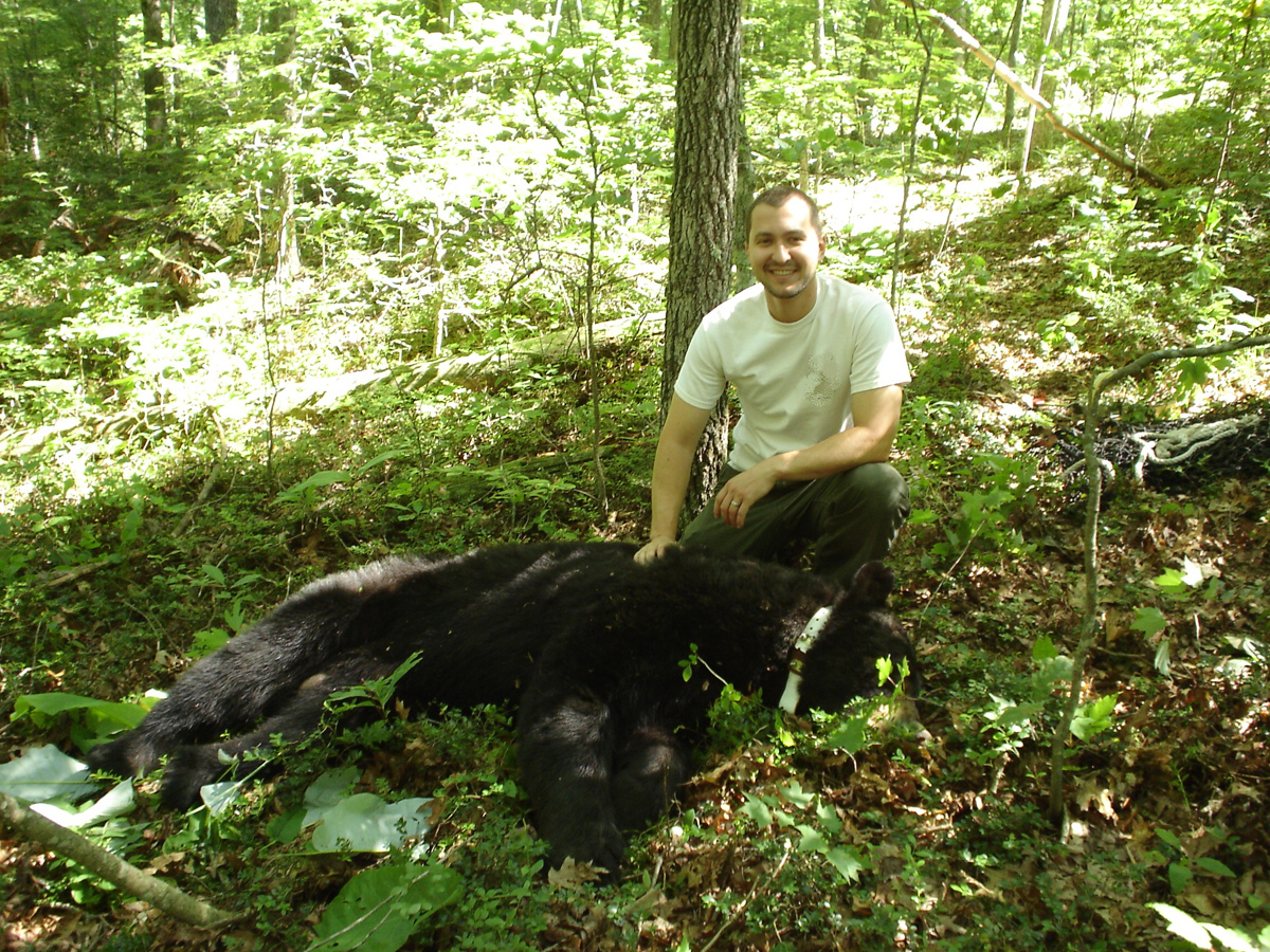 Radio-collared Black Bear in KY