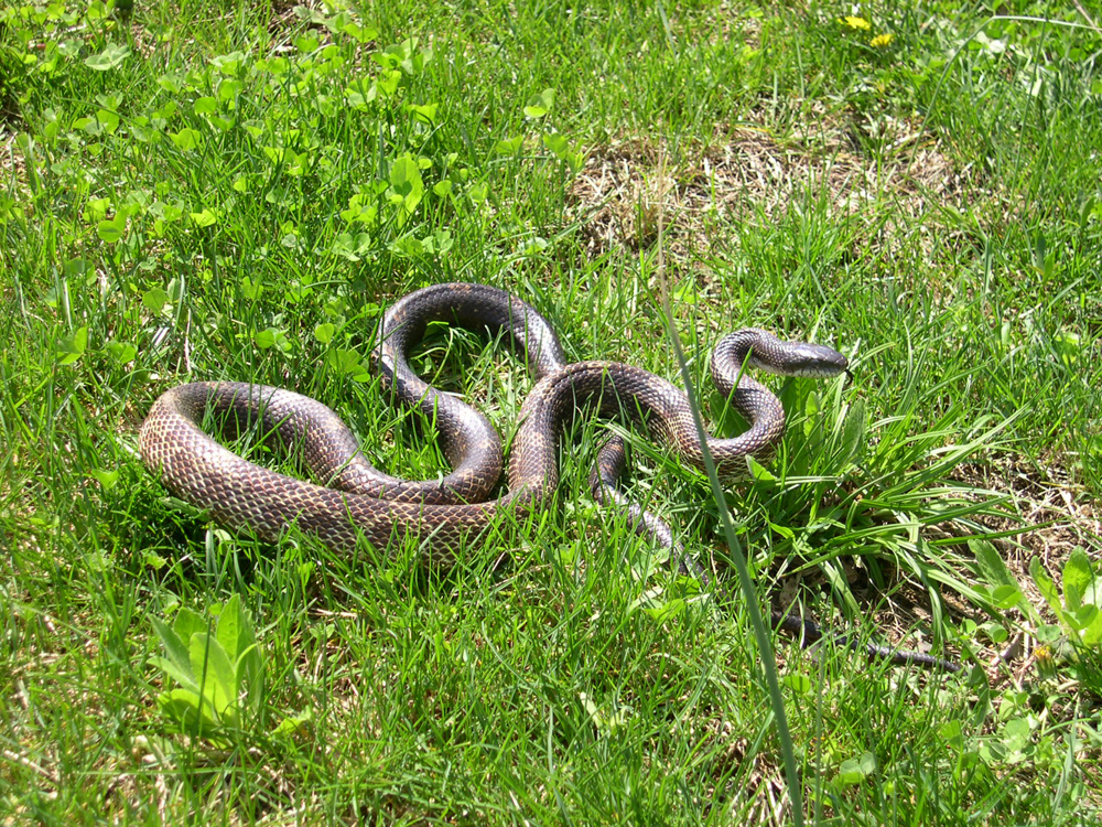Snake removal in Lexington KY