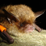brown-bat-removal