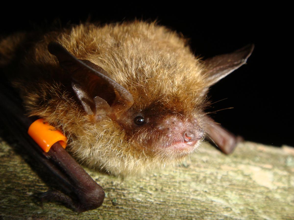 Little brown bat removal