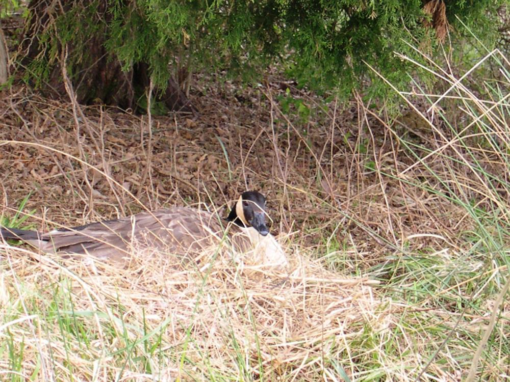 Canada Goose nesting in Lexington KY