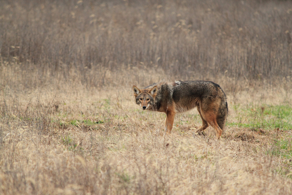 Coyote trapping in Lexington KY