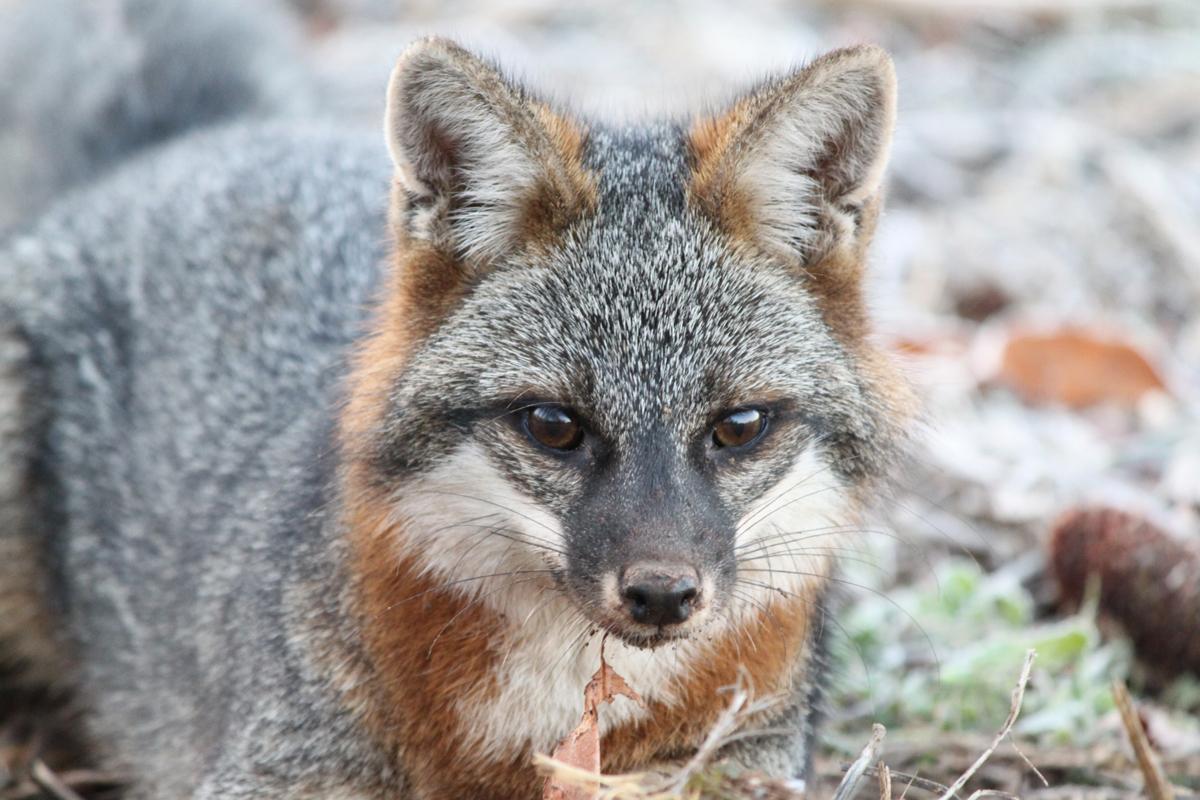 Gray Fox in Lexington KY