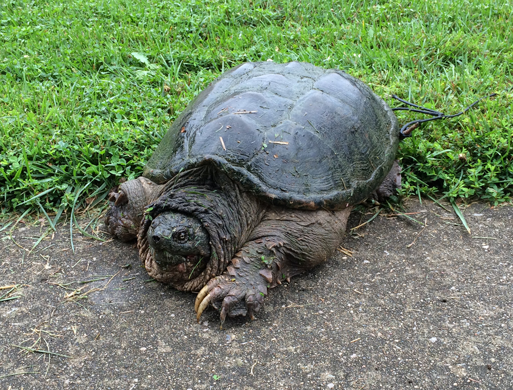Snapping Turtle captured in KY