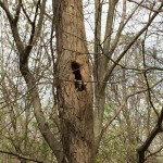 A raccoon peering out of a tree cavity