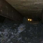 A raccoon encountered in a Lexington, KY attic