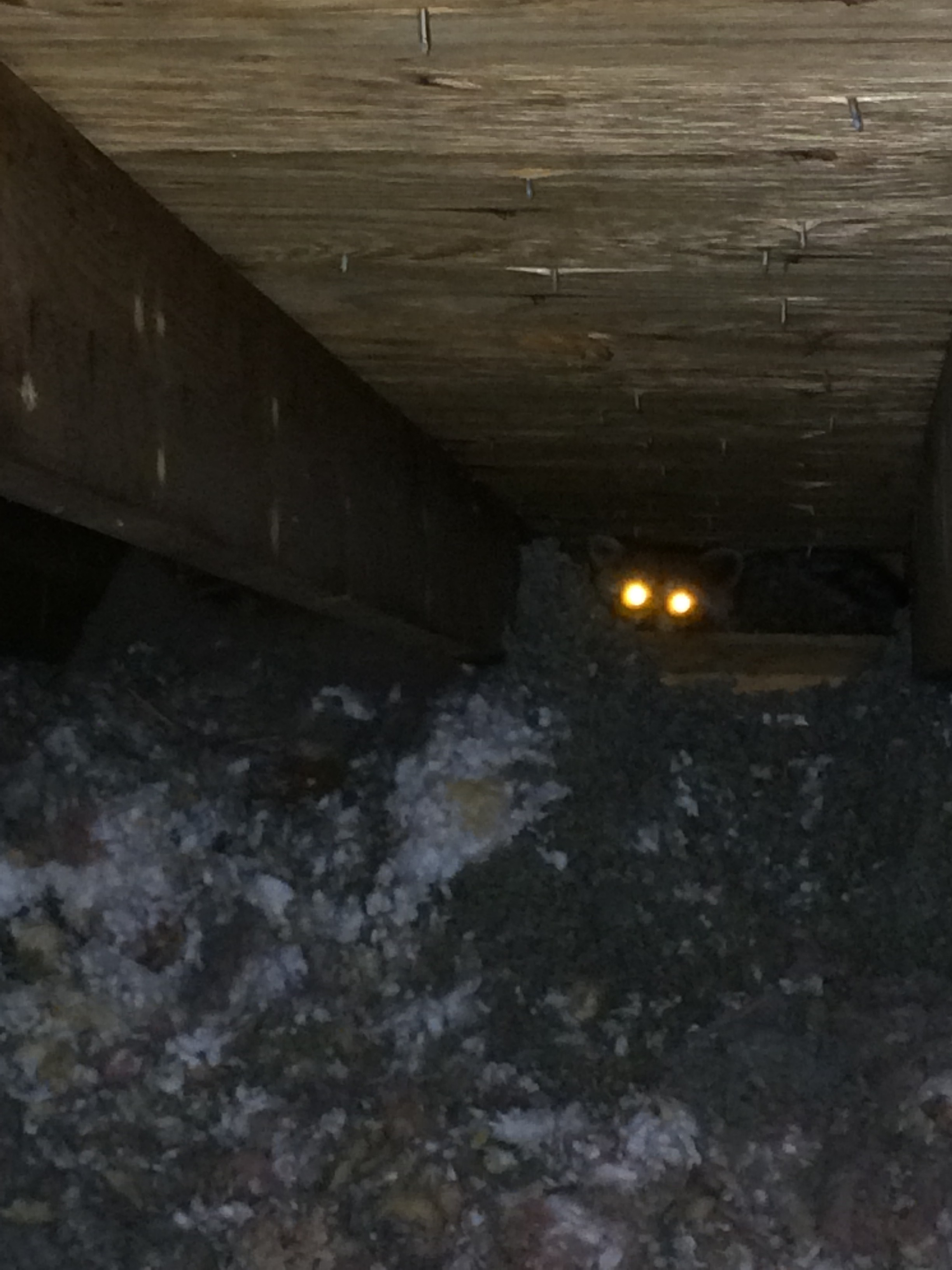 Raccoon in the soffit of this home