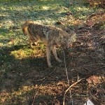 A suburban coyote in Lexington KY captured with the Collarum trap