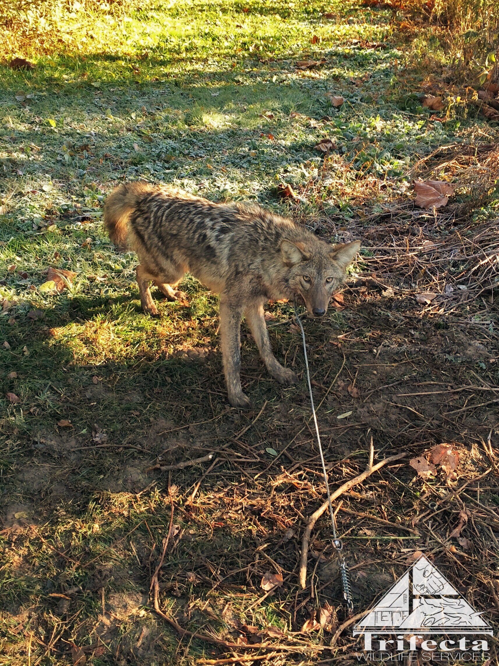 Humanely captured coyote in suburban Lexington, KY
