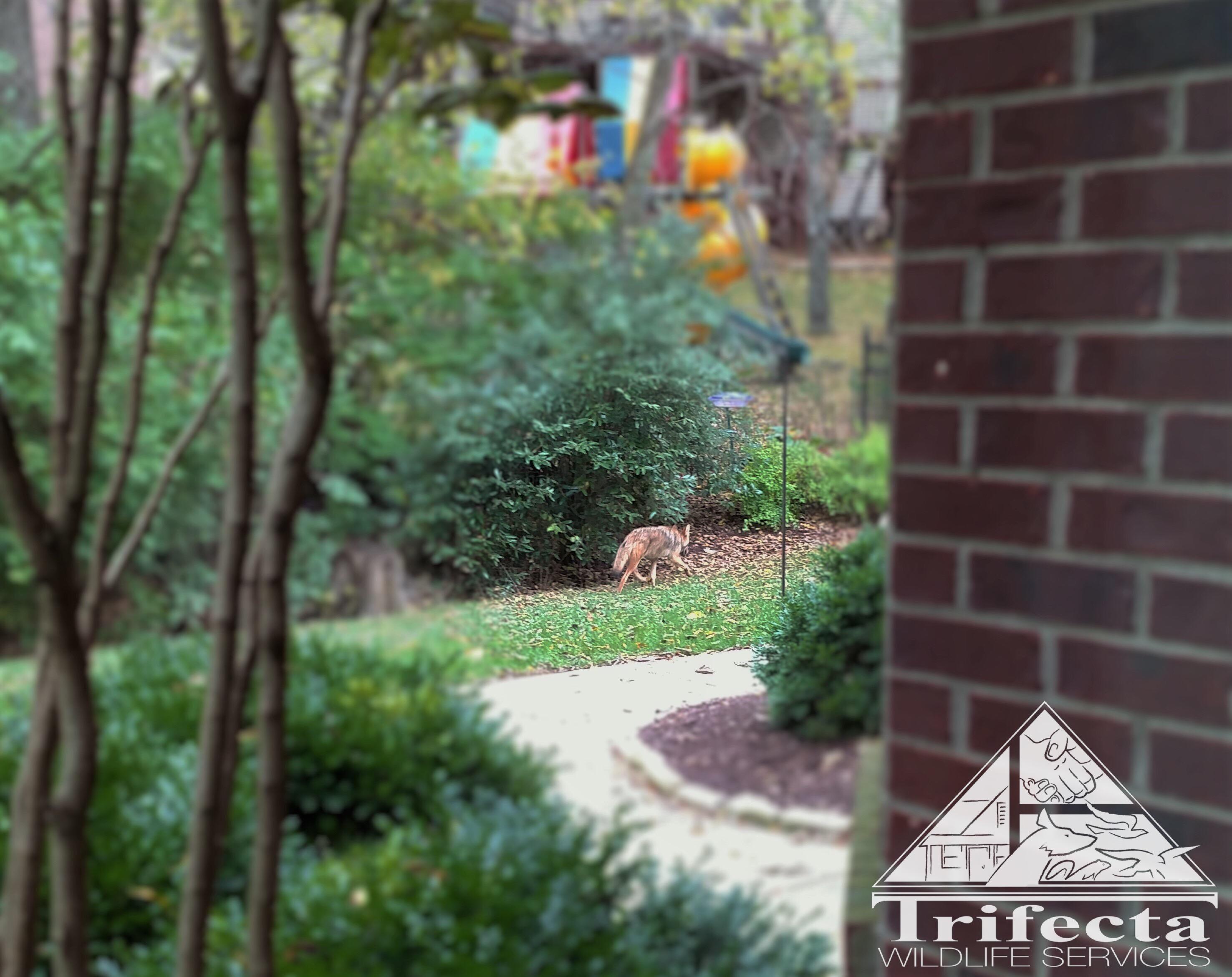 A coyote is a suburban Lexington KY backyard