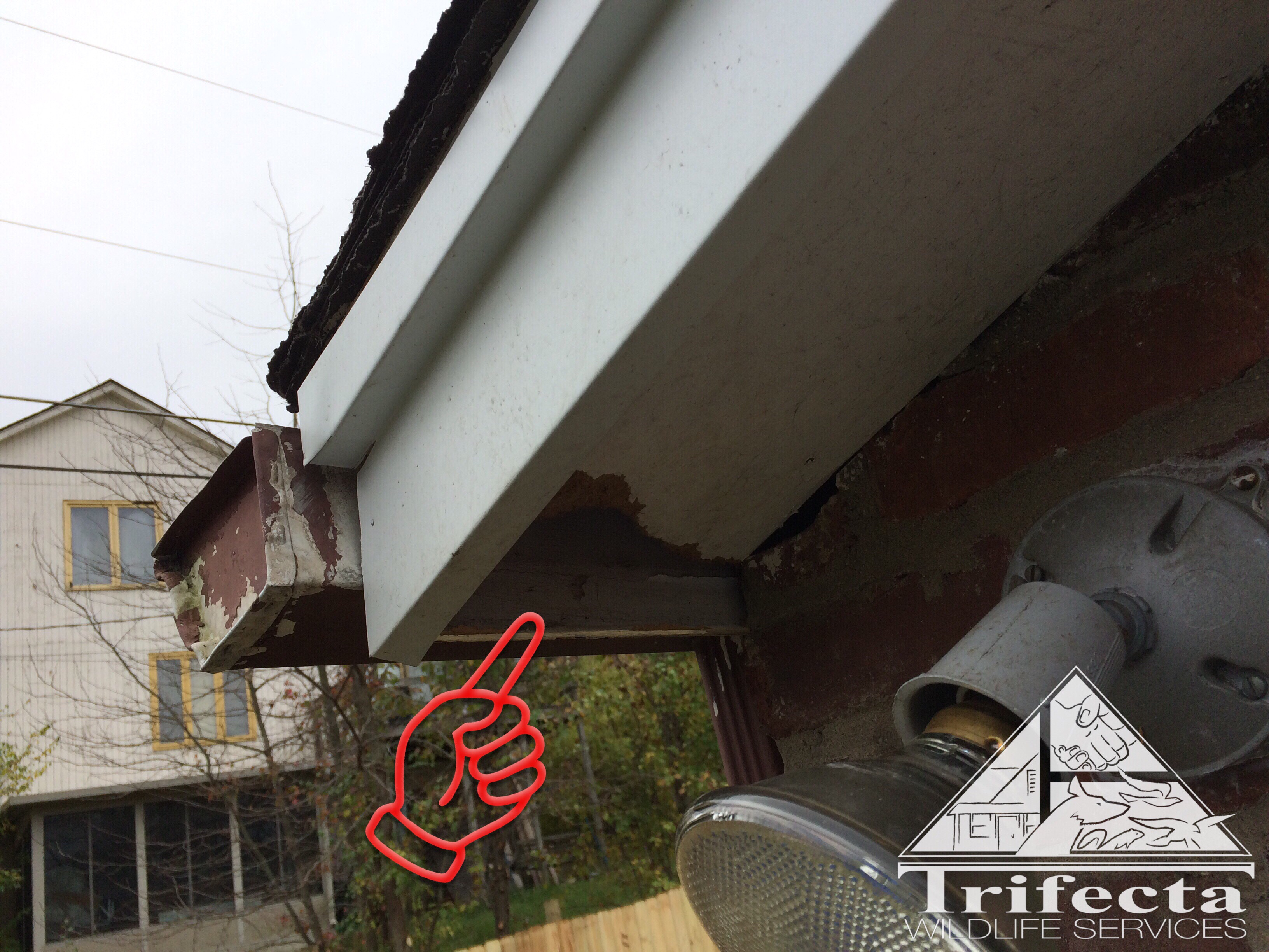Gray squirrel entry point through damaged soffit