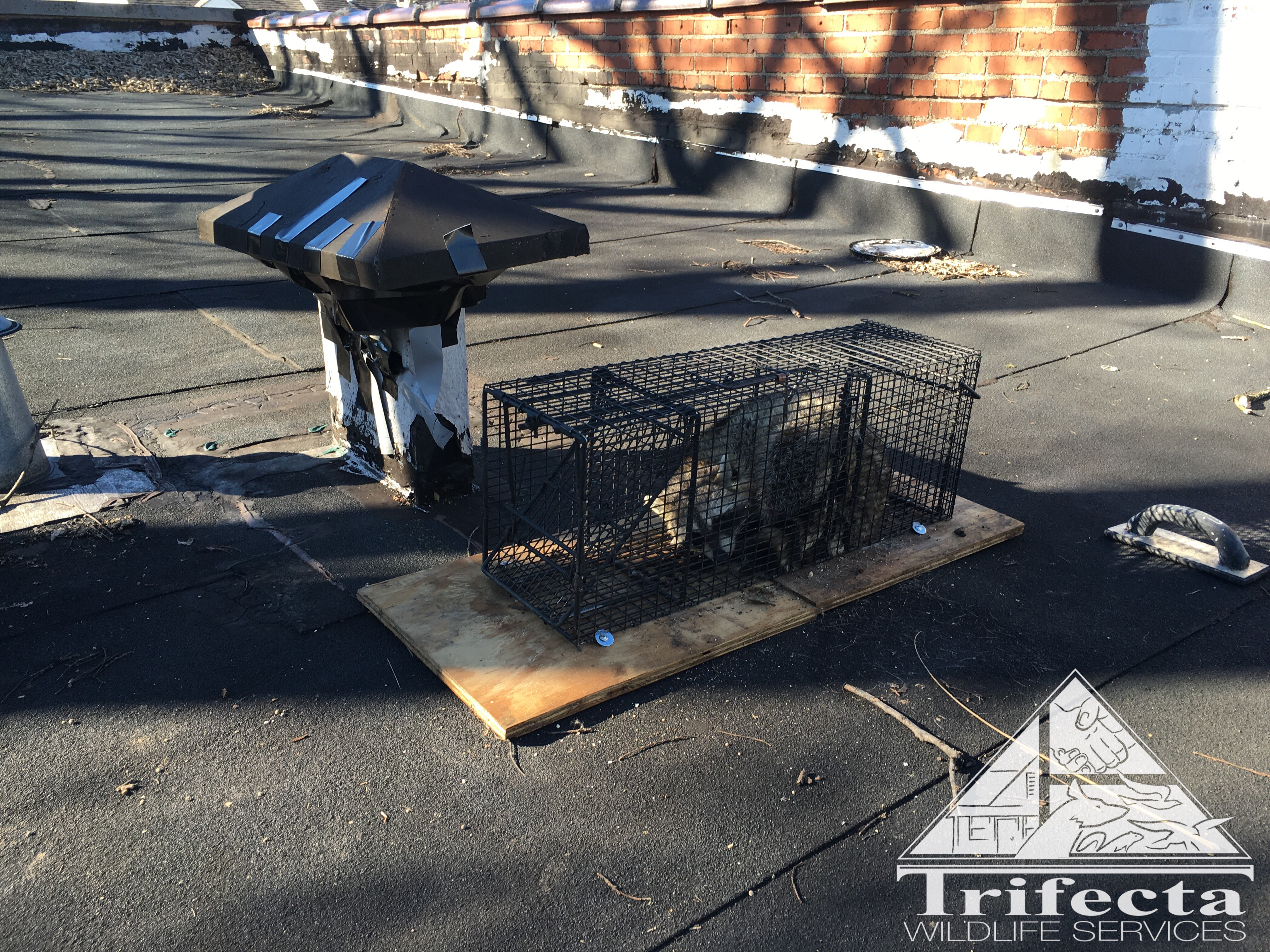 Captured raccoon and vent stack he was entering