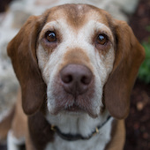 Dudley - , a Pound Dog Rescue alumni dog.