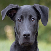 Simon, a Pound Dog Rescue alumni dog.