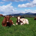 Contented Cows that Understand Norwegian