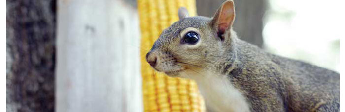 Niceville Florida Newcomer Information - Gray Squirrel