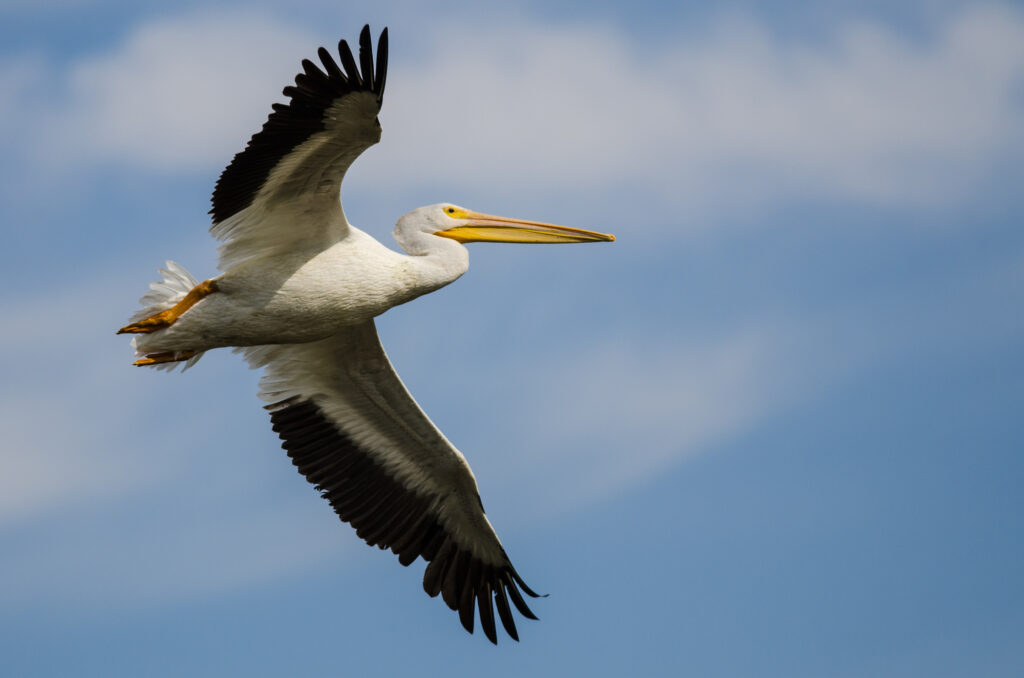 White pelicans of Gasparilla Sound