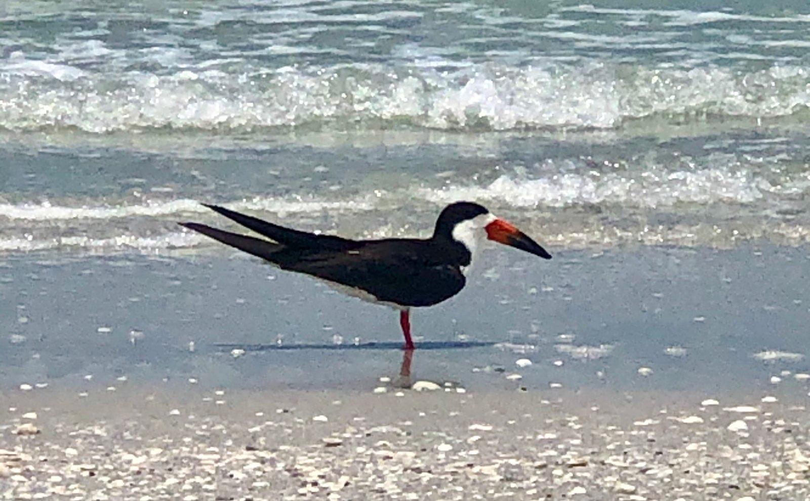Black Skimmer Shorebirds