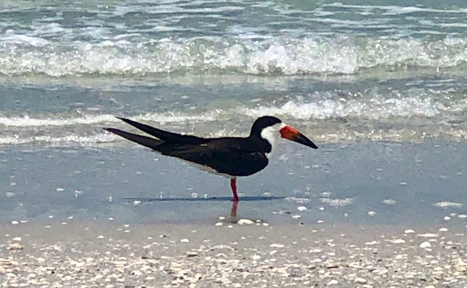 Black Skimmer Shorebirds