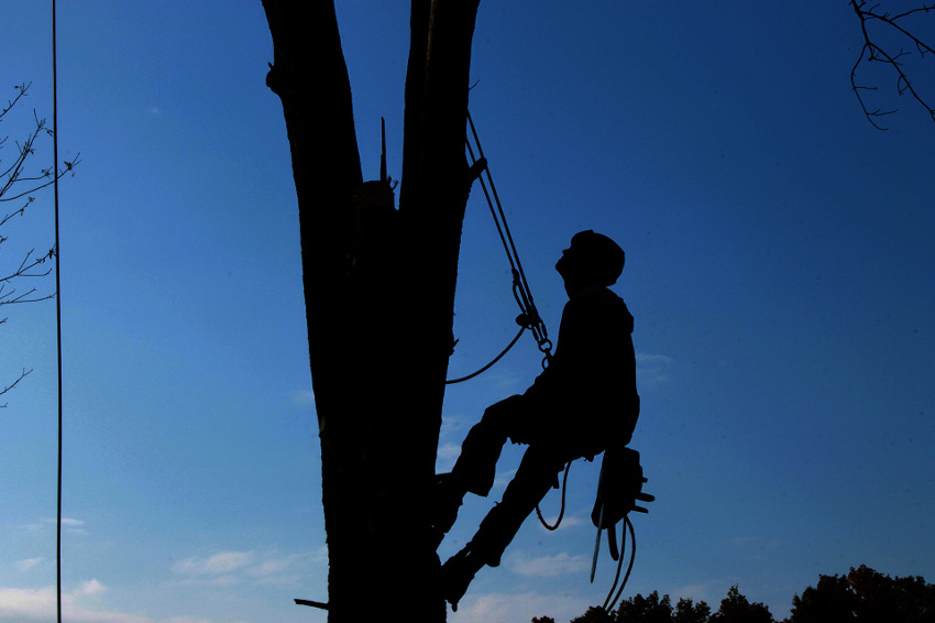 Man climbing tree with a chainsaw to do a tree removal service