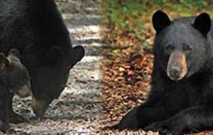 black bear florida niceville
