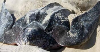 sea turtle nesting season turtle laying eggs in sand
