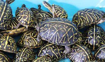 florida box turtles
