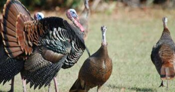 turkeys in wild in Florida, gobbler and hens